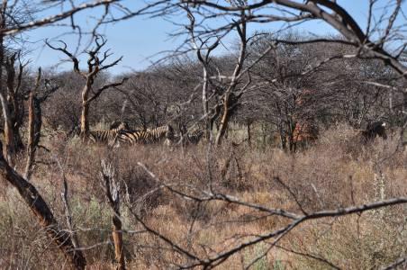 Podczas podchodu spotykamy zebry