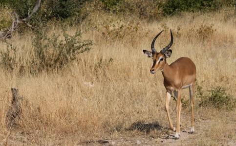 Impala – jedna z najpopularniejszych antylop Namibii