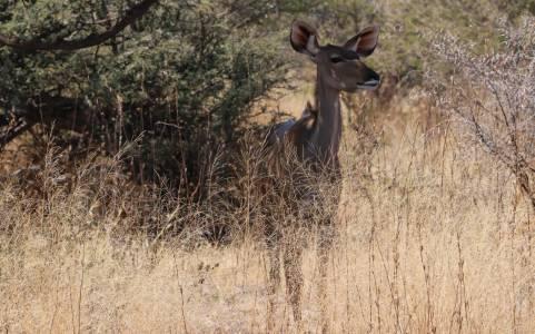 Łania antylopy kudu