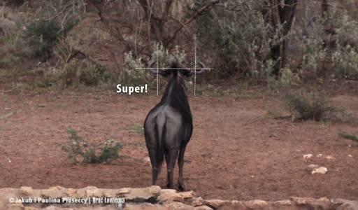 Wzorcowa forma urożenia byka