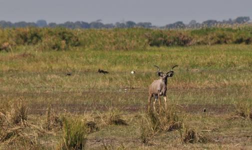 Kudu wielkie – królewski zwierz
