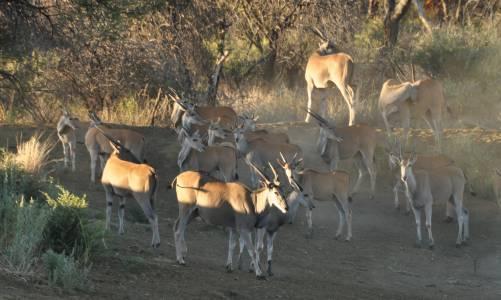 Stado elandów