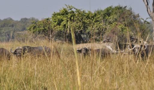 Bliskie spotkania z bawołami w Namibii na terenie Caprivi