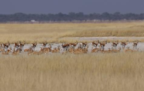 Stado springboków na tle rozgrzanej sawanny