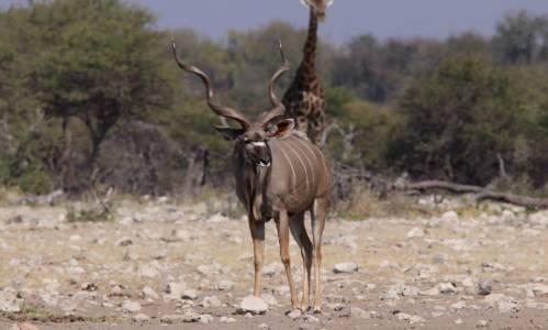 Stary byk kudu w Parku Narodowym Etosza
