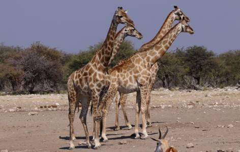 Stado żyraf w parku narodowym Etosha