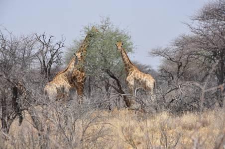 Rodzina żyraf podczas posiłku