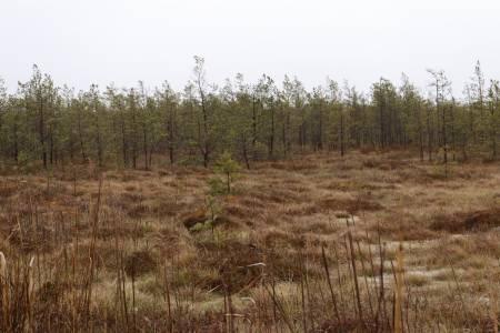 Las skarłowaciałych sosen
