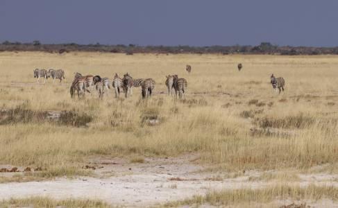 Zebry w parku narodowym Etosha