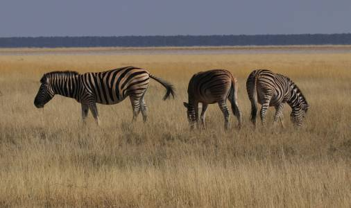 Zebry parku narodowym Etosha