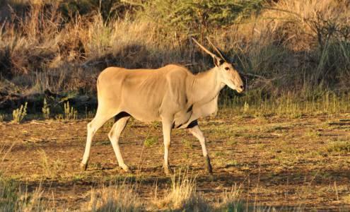 Stara krowa elanda