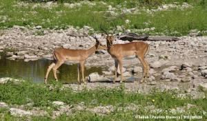 Black-faced impala (impala czarna)