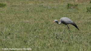 Blue crane (żuraw rajski)