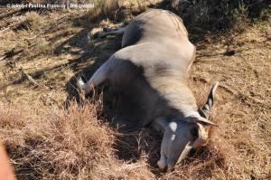 Staruszka można poznać po nieproporcjonalnie króciutkich i zużytych rogach