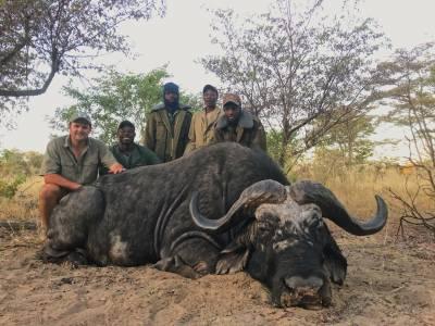 Stary byk bawołu upolowany w ramach odstrzału selekcyjnego