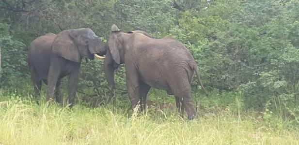 Młode słonie w trakcie rywalizacji