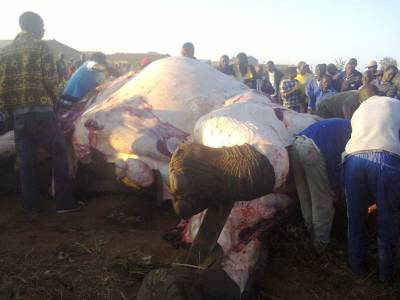 Skórowanie słonia przez miejscową ludność. Nic się nie zmarnuje