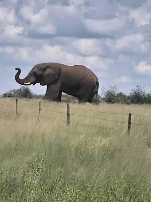 Słoń, który bez trudu, ale nie bez szkody sforsował ogrodzenie farmy w Kambaku. Fot. arch. farmy myśliwskiej Kambaku