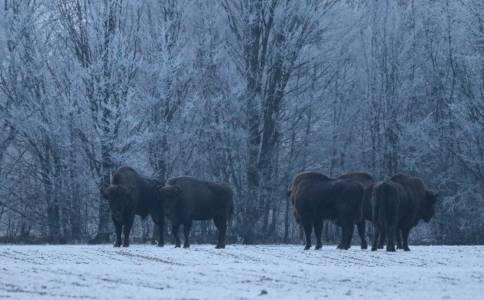 Podejście stada to nie błahostka, ponieważ regularne zganianie z pól i polowania pozwoliły temu gatunkowi na Białorusi zachować naturalne instynkty