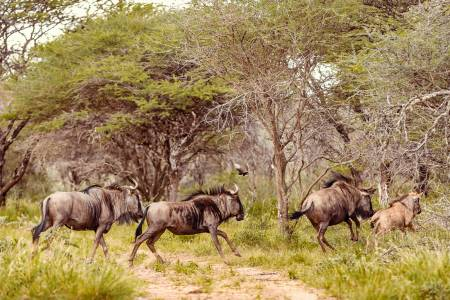 Kambaku-Wildlife-wildebeests
