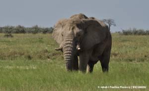 Kambaku, znaczy słoń...