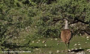 Kori bustard (drop olbrzymi) - najcięższy latający ptak świata