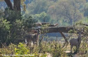 Kudu wielkie