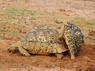 Żółwie lamparcie niewiele sobie robią z dramaturgii sytuacji