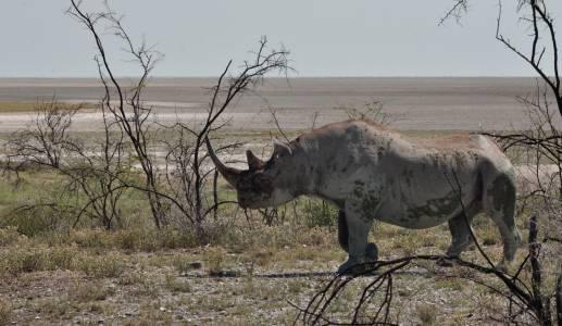 Nosorożec czarny sfotografowany w Parku Narodowym Etosha w Namibii w 2015 r.