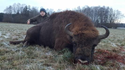 Polowanie na żubry na Białorusi