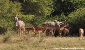 Wielkie kudu