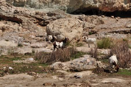 ...oraz kóz