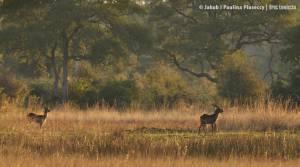 Lechwe - gatunek atylopy zagrożonej wyginięciem