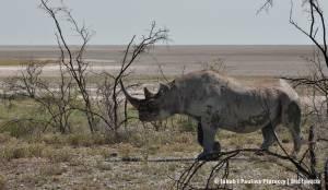 Nosorożec czarny (ang. black rhino)