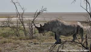 Nosorożec czarny - obiekt nielegalnych łowów