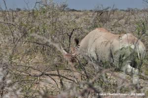 Nosorożec czarny (ang. black rhino) w ciernistym buszu
