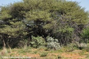 Czatownia skryta pod drzewem