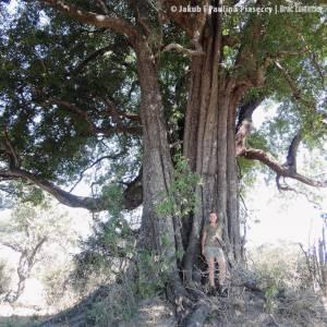 """Drzewo jak z filmu """"Avatar"""""""