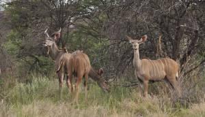 Grupa antylop kudu