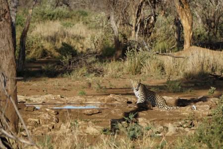 Lampart w Kambaku   Fot. Kambaku Safari Lodge