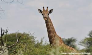 Młody samiec żyrafy