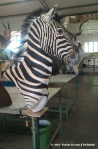 Medalion samca zebry