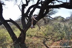Nęcisko gotowe - impala na drzewie