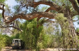 Postój pod pokaźną akacją