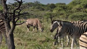 Oryks i zebry
