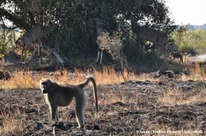 Pawiany z antylopami kudu w tle