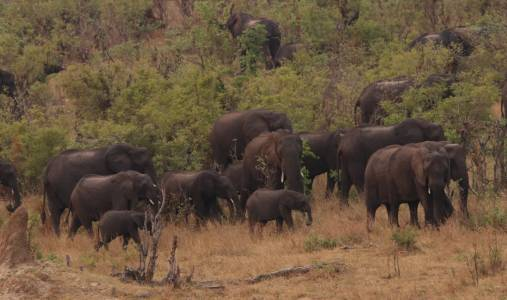 Pokaźne stado słoni