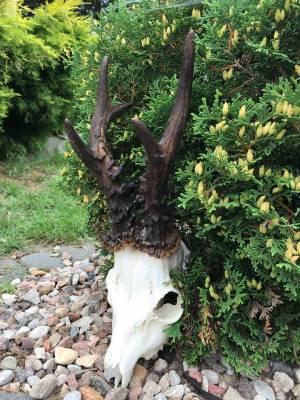Drugi potężny kozioł z Podlasia – 727 g (uwaga, parostki nie są barwione)
