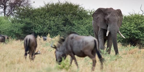 Botswana znosi zakaz polowań na słonie. Fot. David Varga/Shutterstock.com