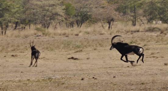 Stadny byk antylopowca odgania młodego samca od stada, Caprivi